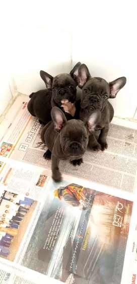 Disponibles cachorritos bulldog francés excelente genetica Exóticos Blu triple carrier