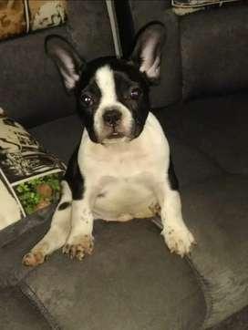 Hermoso cachorro bulldog frances