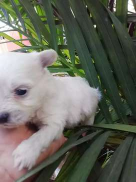 Hermoso machito westi terrier miniatura