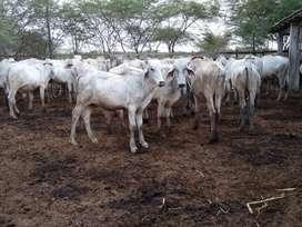 Vendo ganado, terneros cebú-brahman blancos