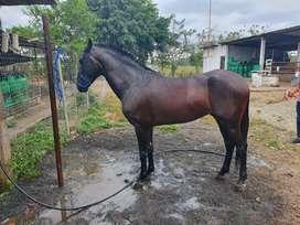 Vendo caballo de paso Colombiano