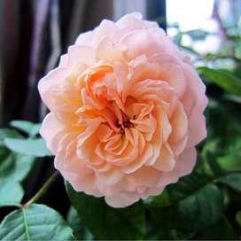 semillas de la rara rosa julieta