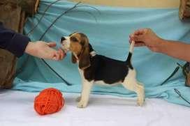 Pureza y belleza beagle enanin