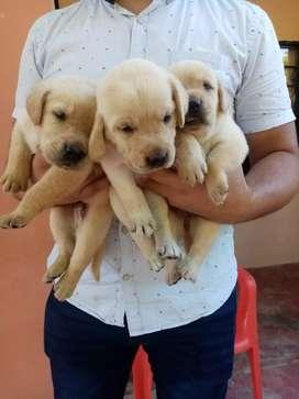Cachorros labradores