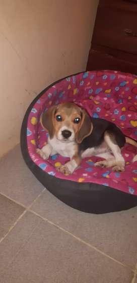 Se vende linda perrita beagle cariñosa y juguetona x motivo de viaje la estoy vendiendo