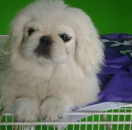 Vendo cachorros de Pekines con FCA