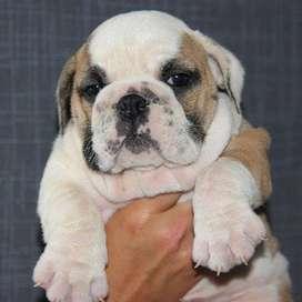 tiernos bulldog ingles de 56 dias vacunados para ya