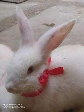 Venta de conejitos  blancos y plomos