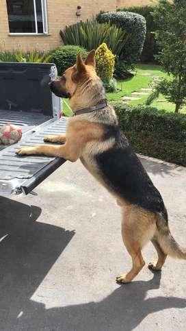 Monta de pastor aleman puro ( se acepta cachorro)
