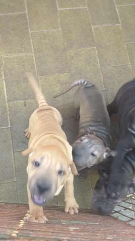 Cachorros sharpei solo hembras  10 meses