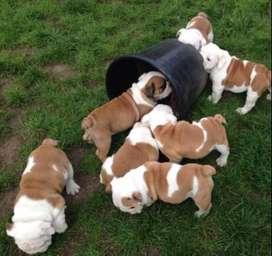 entrega inmediata bulldog ingles de 59 dias