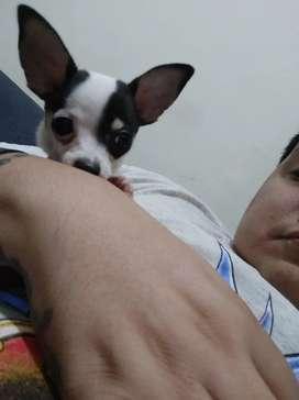 perrito Chihuahua de 2 meses genética pequeña