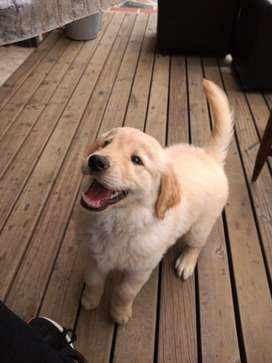 Hermosa cachorra golden retriever