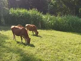 Vacas Jersey puras( precio por unidad)