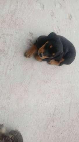 Se vende cachorritas rotweiller
