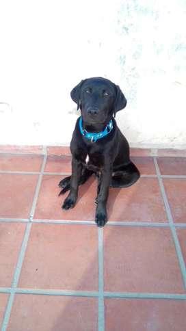 Cachorro labrador 4 meses