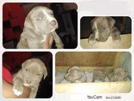 Cachorros (pitbull american starffordshire)