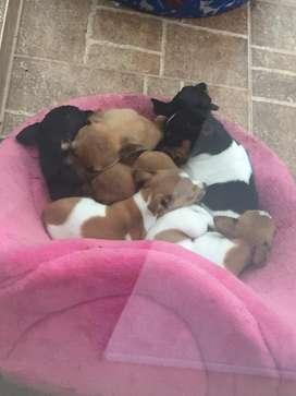 Cachorros Pincher a la venta