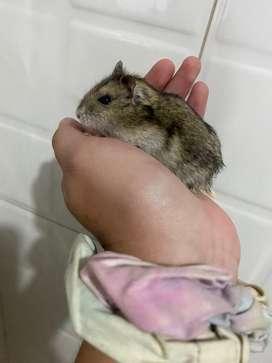 2 Hamsters rusos + jaula de dos pisos