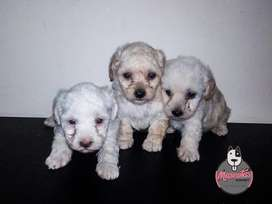 Cachorros french poodle Disponibles