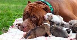 Pitbull bully macho y hembra cachorros