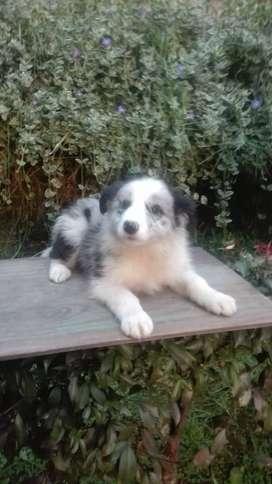 Border Collie registrados e n la Asociaciòn Club Canino Colombiano, machos blanco y negro y  otro azul mirlo, dos meses