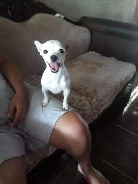 Abierto a montas Chihuahua cabeza de manzana toy de 2 años