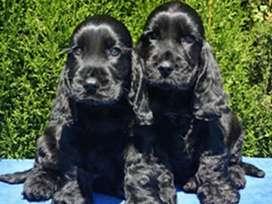 Hermosos cachorros cocker negros MACHOS