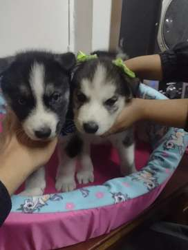 Hermosos husky siberiano nacidos el 23 de febrero