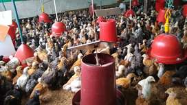 Venta de gallinas criollas