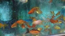 Peces golf fish medianos