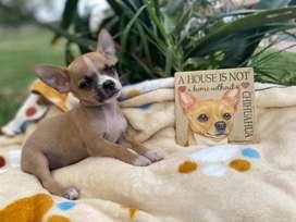 Chihuahua macho  bicolorb