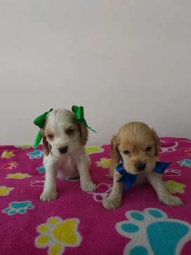 Bonitos cocker spaniel hembra y macho disponibles