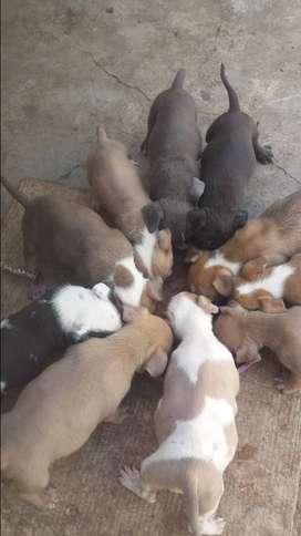 Cachorros fusion bully un mes y 13 dias