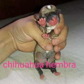 Chihuahuas minis nene y nenas