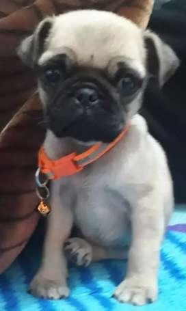 Perro pug edad 3 meses