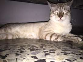 Se da en adopcion gato de 10 meses , es un poco imperativo y jugueton - su antiguo dueño se arrenpintio .
