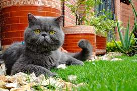 Gato persa para monta