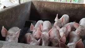 Cerdos baratos