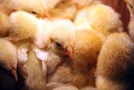 Pollo Peruano Gigante de engorde: Envíos sin costo