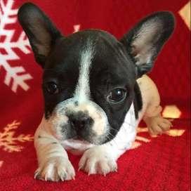 Bulldog Frances 45 Dias blanco con negro linda