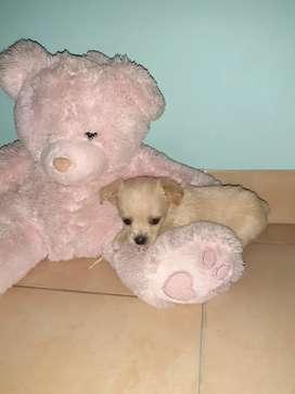 Chihuahua macho de 47 dias