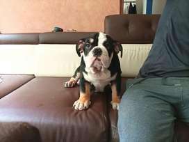 Hermoso cachorrito bulldog Inglés  de 4 meses