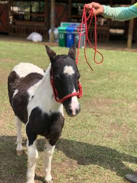 Ponys criadero