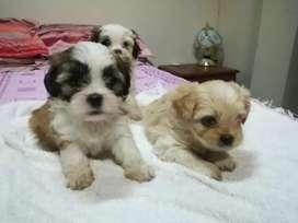 Adorables cachorritos Shih tzu blanquitos