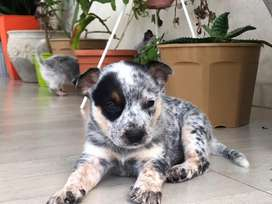 Cachorros Australian Cattle Dog