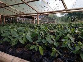 Plantulas de Cacao Fino Y de Aroma