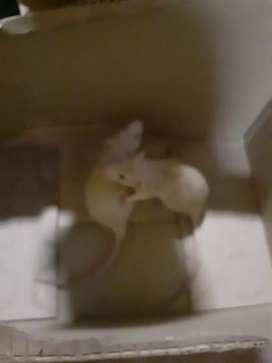 Ratas dumbo