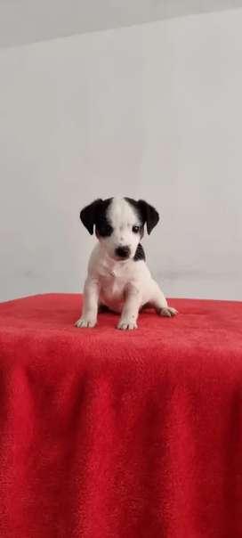 Fabriz jack russel terrier