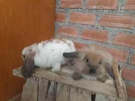 Conejitos raza angora, mini lop